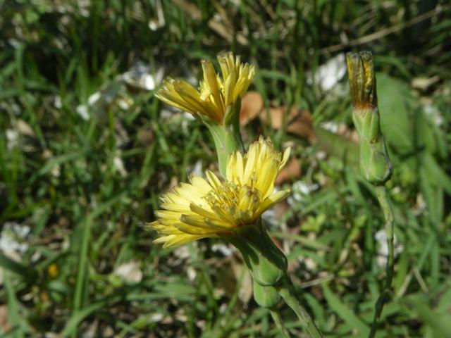 「秋の」、も、まだ、咲く。アキノノゲシ(キク科・アキノノゲシ属Lactica)。ハルノノゲシはノゲシ属またはハチジョウナ属(Sonchus)、だから、「名」は近くても、別属。花の様子も、そういえば、だいぶ、違う。