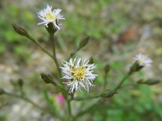 園内には、やはり、オニタビラコ、リュウキュウコスミレ、ムラサキカタバミ、などが咲き乱れておった。これは、ホウキギク(キク科)。