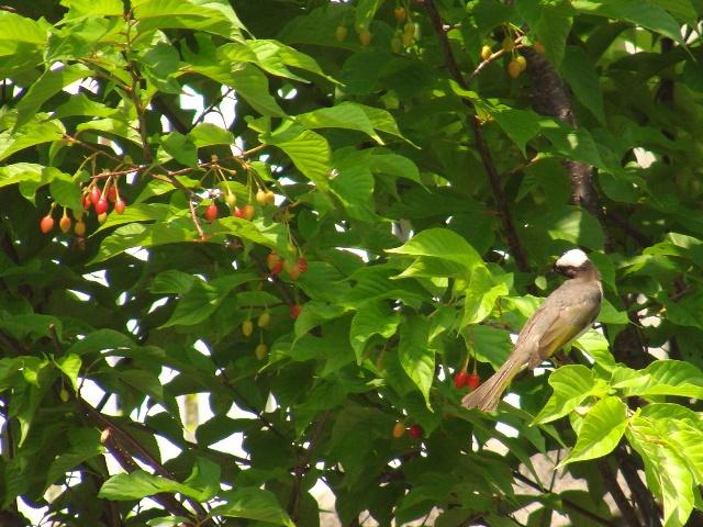さくらんぼ、これは、緋寒桜のものだ!、に「狙い」をつける、シロガシラ(ヒヨドリ科)。