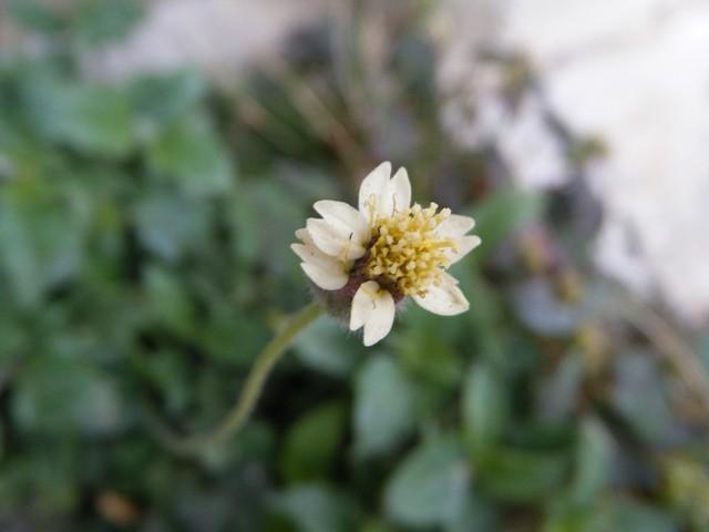ハキダメギク(キク科)、本当に、「掃き溜め」が「好き」なのか?、マンションのごみ置き場にて。長い湾曲した、ホースのような「花茎」。