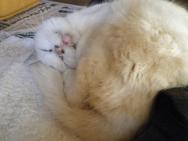 熟睡、オーちゃん♪、こんな風に、首を器用に曲げて、「上を向いて」、眠るのだ!
