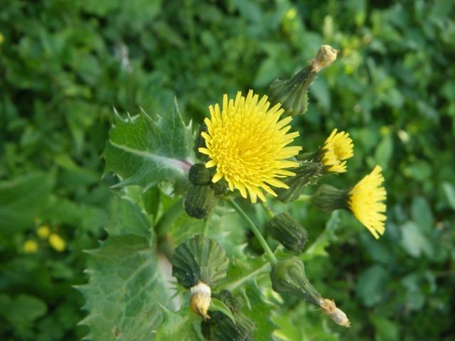 これが、「春の」。ハルノノゲシ(キク科・ノゲシ属またはハチジョウナ属Sonchus)。