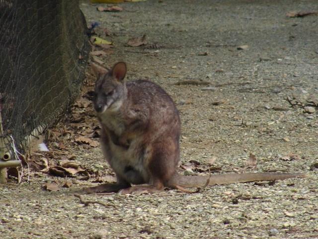 パルマワラビー(有袋目カンガルー科)、これはもちろん、オーストラリアから。