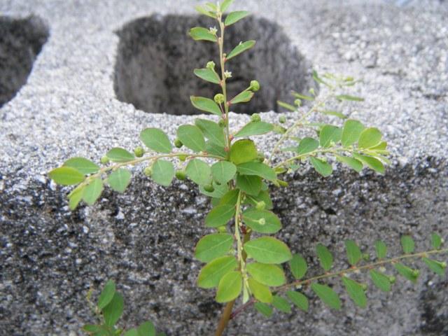 キダチコミカンソウ(トウダイグサ科)。