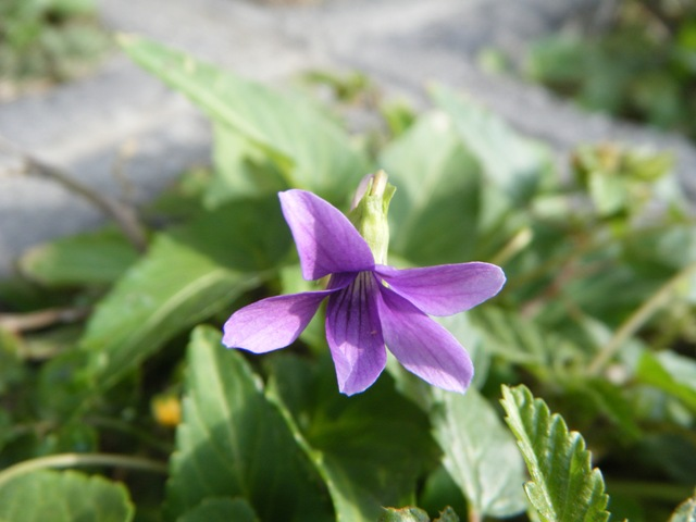 コンクリートブロックの隙間。まだまだ、咲く。リュウキュウコスミレ(スミレ科)。