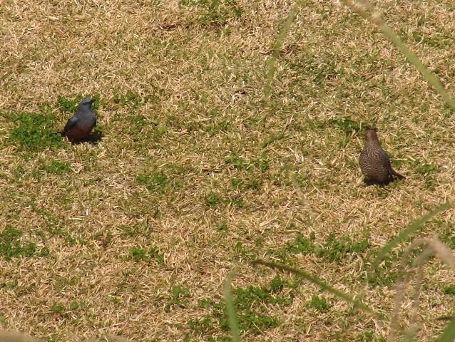 イソヒヨドリ(ツグミ科)、「愛」をささやく?オス(左)、聞こえないふり?のメス(右)。この後メスは飛び去り、残された雄は、枯れ芝を嘴に咥え、また、放した。人間で言う「照れ隠し」、動物行動学上は、「転位行動」?