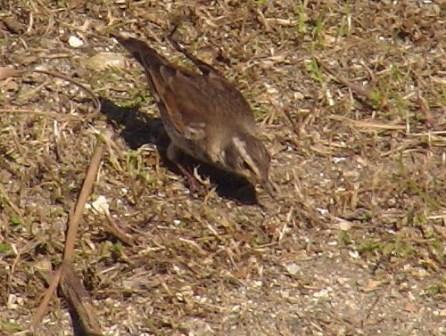 新種発見♪、ツグミ(ツグミ科)、平日の昼間、さいわい誰も「人間」のいない広い芝生上、ゆっくりと「採餌」していた。だから、たっぷり写真も撮れた♪