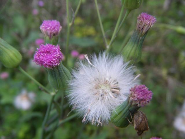 「舌状花」を欠く「アザミ状花」の大きさの割には、大きすぎる(!)とも思える綿毛。ウスベニニガナ(キク科)。