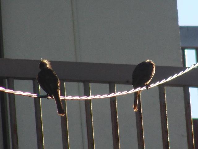 この、頭が、くしゃくしゃの、きっと、産毛が残っているような、ヒヨドリ(ヒヨドリ科)、の幼鳥。逆光でよくわからないけれど。もちろん、朝。