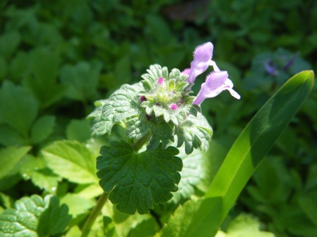 新種発見♪、、ホトケノザ(シソ科)。「珍しくもない一野草で自家受精を営む閉鎖花の出来ることで最も著名な者」(牧野)、だって!