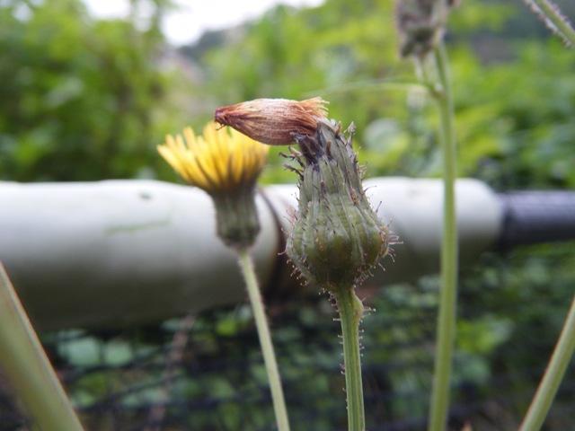 これは、タイワンハチジョウナ(キク科、ノゲシ属Sonchus)かな?、つぼみの形が面白くて・・・。フロイト先生なら、「明白な陰茎象徴」?、だって、「花」は「生殖器」なんだから!