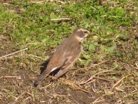 新種発見♪、ツグミ(ツグミ科)、近縁種シロハラの、べったりと暗い感じの羽色に比べて、光の加減でいろいろに見える、鮮やかな模様。眼の上の白い「線」も、目立つ。