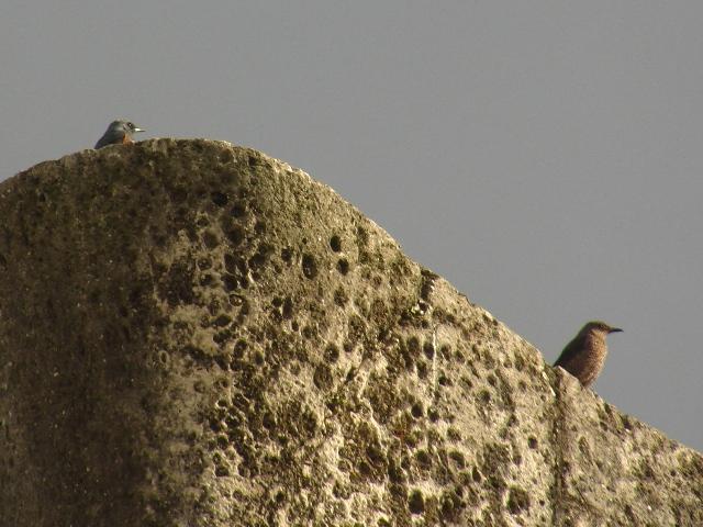 もちろん、首里城、「城壁」の鳥、イソヒヨドリ(ツグミ科)。ご夫婦でらっしゃいますか?、左、「派手」なオス、右、「地味」なメス。石灰岩の石組みが、「磯」に似ているのだろう?