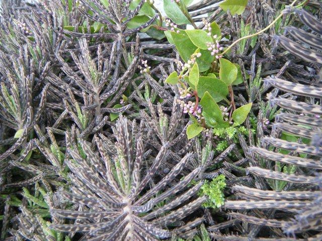 「亜熱帯・密林」、この、「迷彩」の如きデザインの、「茎」は、キンチョウ(ベンケイソウ科)、ここで(?)CAM光合成が、行われている?、そこに絡みつくのが、シンツルムラサキ(ツルムラサキ科)。