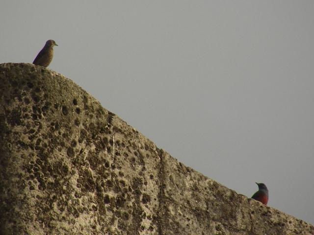 もちろん、首里城、「城壁」の鳥、イソヒヨドリ(ツグミ科)。ご夫婦でらっしゃいますか?、あれ、左右、入れ替わった?、左、メス、右、オス。