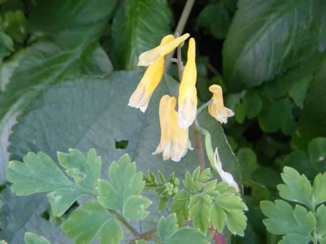 「柳宗民の雑草ノオト」には「夏」編に紹介されている(!)、キケマン(ケシ科)、今年も開花。手前の「欠刻葉」も。
