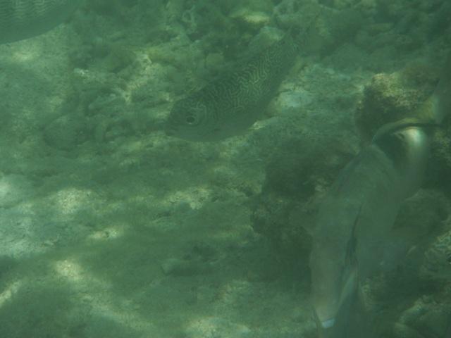 干潮、水深2メートル弱♪、今日は、「大漁」だ!、右下:巨大オジサン(ヒメジ科)、と、左上:これが、あの、稚魚が群れをなしていたアミアイゴ(アイゴ科)の成魚だろうか?