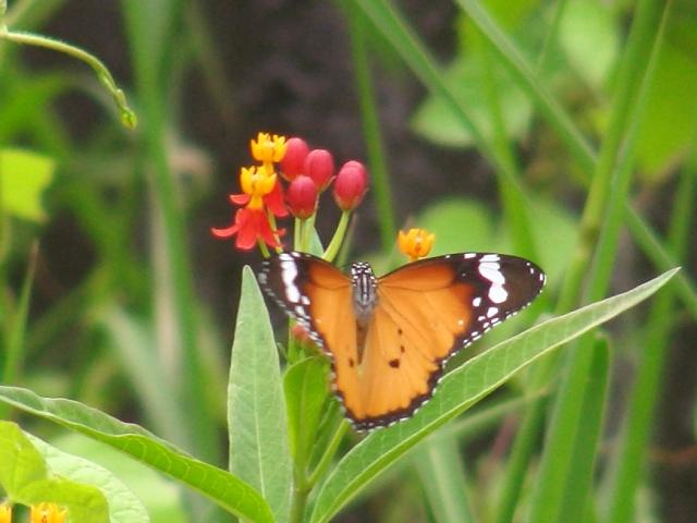 今年初めて発見!、カバマダラ(マダラチョウ科)。ひらひら飛んでいてもカメラも向けないくらい「ありふれた」蝶だったのに、今年は少しも見かけないから、「心配」していた!