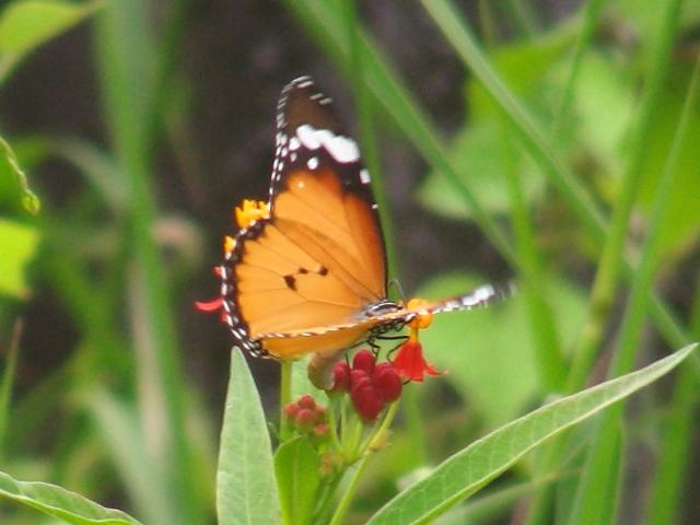 これは、食草トウワタ(ガガイモ科)の花。遊歩道のイヌタデのそばに群生しているのを覚えていたから(!)、「待ち伏せ」したのだ。産卵場所を探しているのかしら?、カバマダラ(マダラチョウ科)。