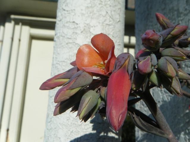「先代」ベランダ・ママちゃん♪がトイレに使っていた場所に、ほら、キンチョウ(ベンケイソウ科)、開花。CAM光合成植物。「ベンケイソウ科型光合成」の意だから、これでは、「同義反復」だ。