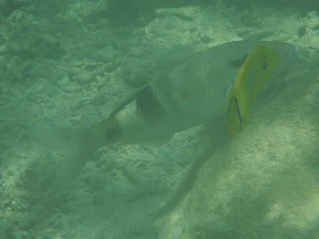 干潮、水深2メートル弱♪、今日は、「大漁」だ!、巨大オジサン(ヒメジ科)、と、スミツキトノサマダイ(チョウチョウウオ科)。