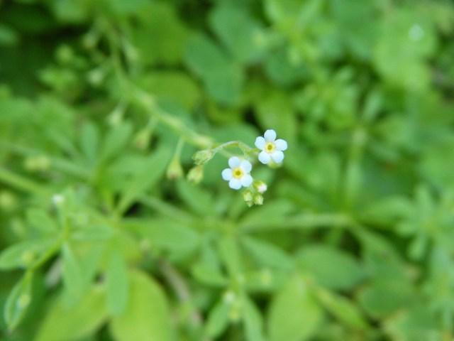 キウリグサ(ムラサキ科)、も、開花。あまりにも小さい花だから、カメラの焦点が合いにくい。