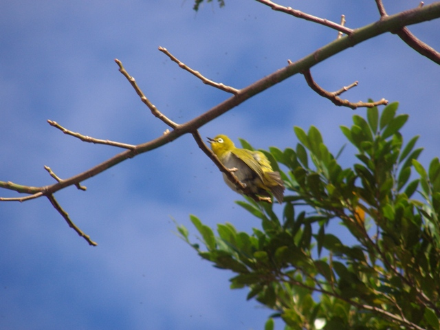 本・物・の、春の「陽気」♪、鳥たちも忙しい。メジロ(メジロ科)も出てきたぞ!