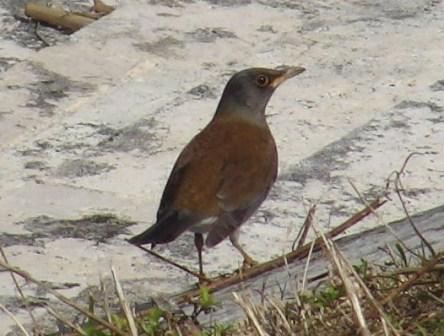 シロハラ(ツグミ科)、遊歩道を歩いていると、前方にこの鳥がいる。カメラを向けると、前に「歩いて」、逃げる。なかなか、いよいよ接近してからでないと、「飛ば」ない。それが、まるで道案内しているみたい、・・・。