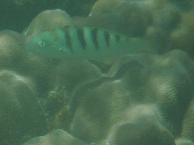 干潮、水深2メートル弱♪、今日は、「大漁」だ!、セナスジベラ(ベラ科)。