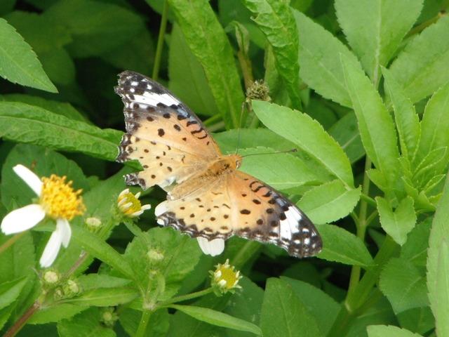 蝶の通る道、があるのだろうか?、ここにはいつも数種類の蝶が「屯」している。ツマグロヒョウモン(メス・タテハチョウ科)。