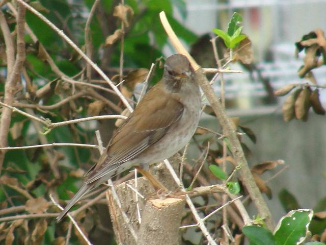 「用心深い」鳥のはずなのに、時々、こういう遭遇をする。シロハラ(ツグミ科)、大接近。