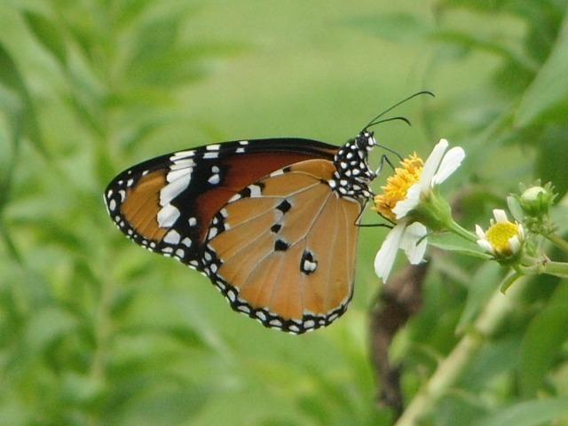 蝶の通る道、があるのだろうか?、ここにはいつも数種類の蝶が「屯」している。カバマダラ(マダラチョウ科)。