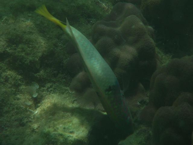 干潮、水深2メートル弱♪、今日は、「大漁」だ!、ミツボシキュウセン(ベラ科)。こんなに「大胆」に、近づいてくる。