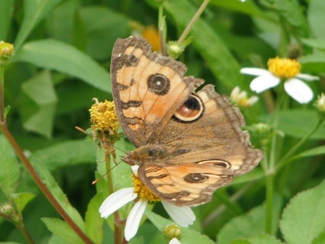 蝶の通る道、があるのだろうか?、ここにはいつも数種類の蝶が「屯」している。タテハモドキ(タテハチョウ科)。