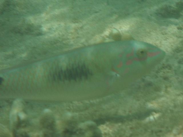 干潮、水深2メートル弱♪、今日は、「大漁」だ!、ミツボシキュウセン(ベラ科)。複雑な配偶システムの「性転換魚」だし、オスなのかメスなのか、よくわからない。