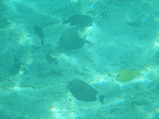 海底の砂地で餌をあさる、「魚群」(!)、ニザダイ科の仲間と思われるが、手元の図鑑には、どれも当たらずとも遠からず・・・、黄色いのもニザダイ科の「幼魚」かもしれない。