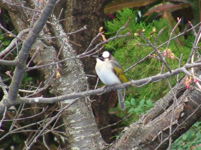 「花鳥図」♪、隣家のサクラが咲いた!、緋寒桜(ひかんざくら)、プルヌス・カムパヌラータ(Prunus_campanulata_Maxim.)かどうかは不明。「鳥」、はもちろん、シロガシラ(ヒヨドリ科)。メジロとともに、「花蜜食」もすることは、昨年確・認・、した!