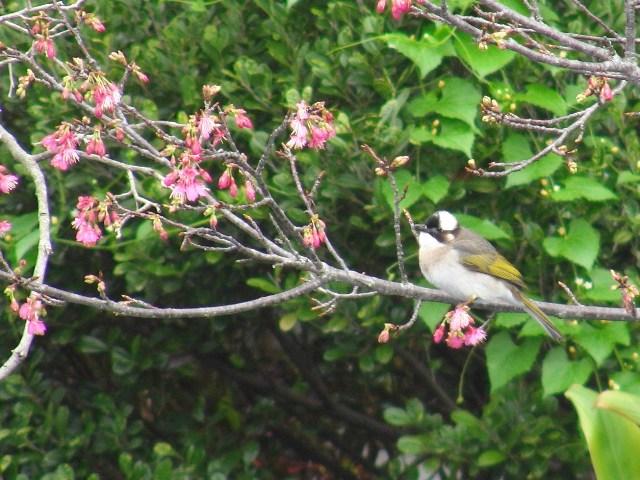 「花鳥図」♪、花蜜食の小鳥が、サクラの花びらの側面を食い破って、直・接・、蜜腺に達するという方法を、近・年・「進化」的に獲得した、・・・、そうだ。これではもちろん、「鳥媒」にならない、「花」にとっては、メ・リ・ッ・ト・、がない。