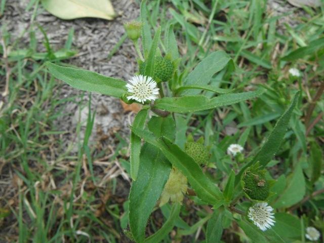 タカサブロウ(キク科)。花よりもでかい、そう、ヒマワリのような、頭状花のつぼみ。この植物は、水で種子が散布されるのだったっけ?