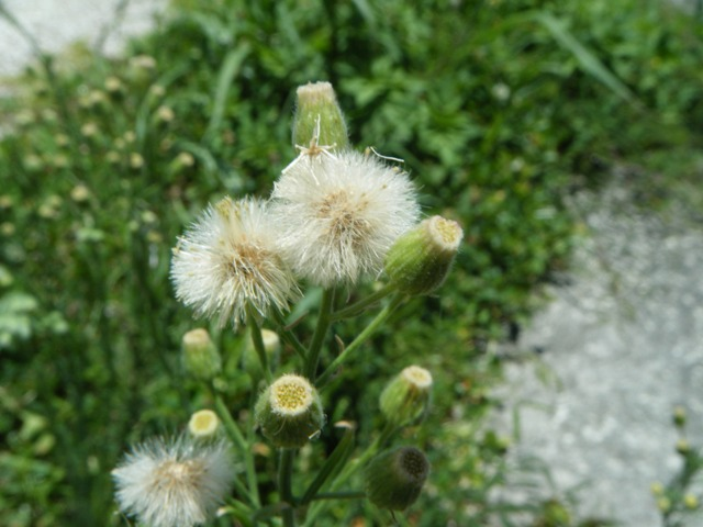 アレチノギク(キク科)。舌状花がないから、綿毛にならないと、気付かない、花。