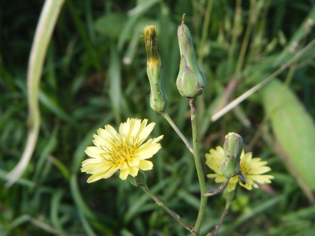 「春の」、に負・け・ず・、アキノノゲシ(キク科・アキノノゲシ属Lactuca)、咲く。