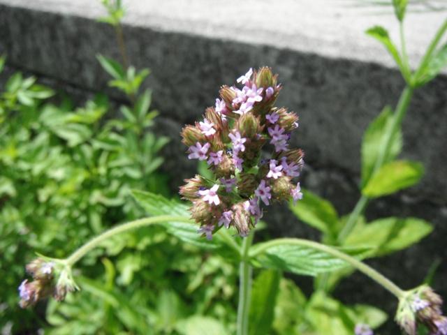 葉に深い切れ込みがな・い・、から、ヒメクマツヅラ(クマツヅラ科)、と思われるが、他の場所で見かけるものより、花房が、でかい!