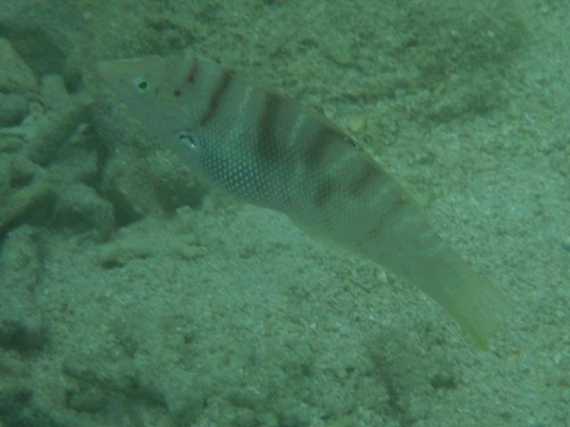 干潮、水深2メートル弱♪、今日は、「大漁」だ!、シチセンムスメベラ(ベラ科)。背びれに眼状紋。