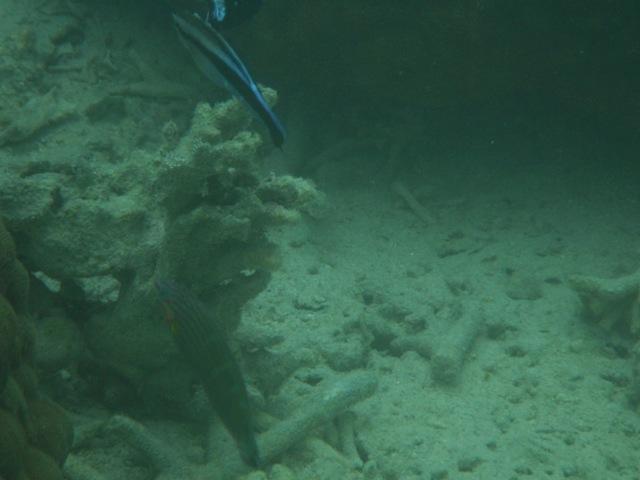 干潮、水深2メートル弱♪、今日は、「大漁」だ!、上は、掃除魚、ホンソメワケベラ(ベラ科)、かなり大きい!、下は、カザリキュウセン(ベラ科)。
