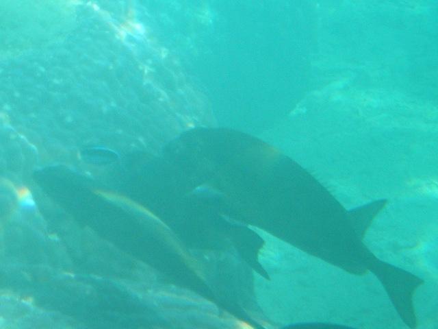 ホンソメワケベラ(ベラ科)、左上端の、黒と淡いブルーのツートンカラーの、小さく細長いの、の、「お掃除」サービスの、「順番待ち」をしている?、「魚群」(!)