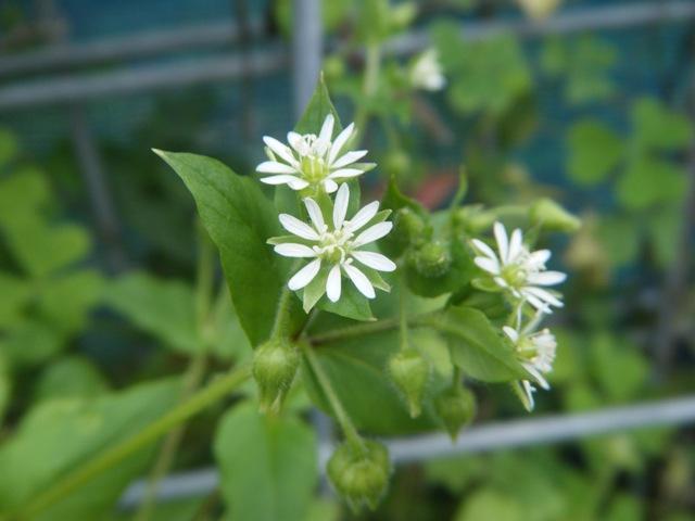 ウシハコベ(ナデシコ科)。「ハコベ」は春の七草であるが、まだ、咲く。