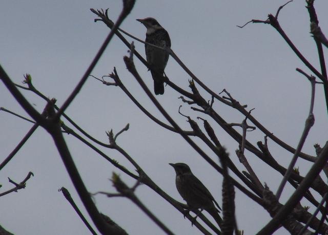 平日の午前中は、「人」が少ないから、遊水地は「鳥」の「天下」!、一本の木にツグミ(ツグミ科)が、二羽。