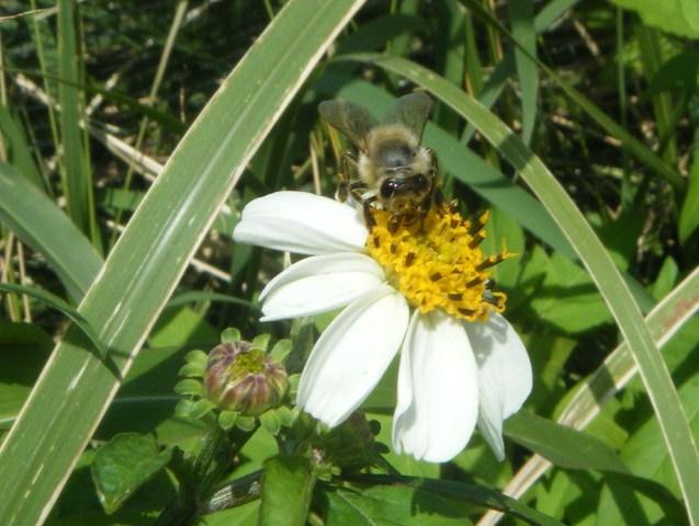 シロノセンダングサ(キク科)、手前は、「はちきれんばかり」の、つぼみ。そして、セイヨウミツバチ。