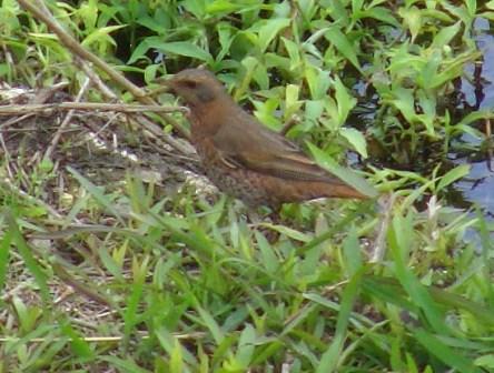 ツグミ(ツグミ科)のメス、と思われる鳥。側面。ツグミ科の鳥は、足をそろえて、飛び歩く。開けた土地で、餌を探すことが多い、と言われている。