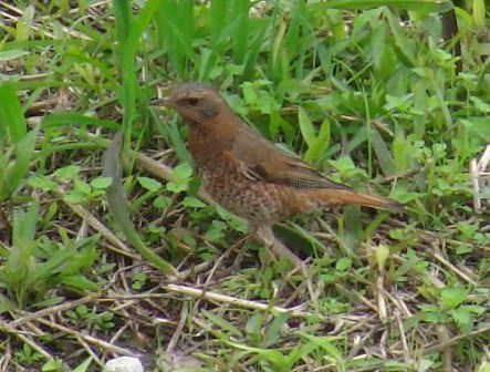 ツグミ(ツグミ科)のメス、と思われる鳥。首から、腹にかけて、かなり鮮やかなオレンジ色。眼の上の白い線も薄いところが、「雄」とは異なる。